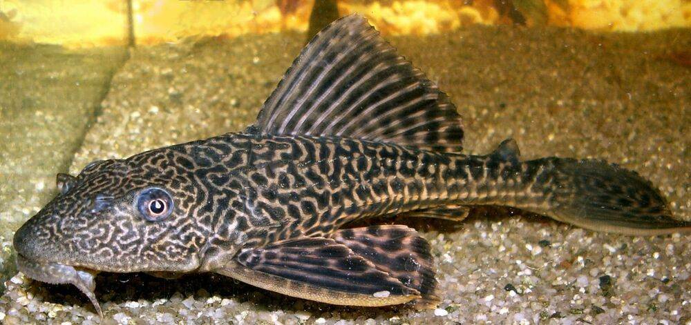 Hypostomus plecostomus pleco sucker fish 3 4 inch for Aquarium sucker fish