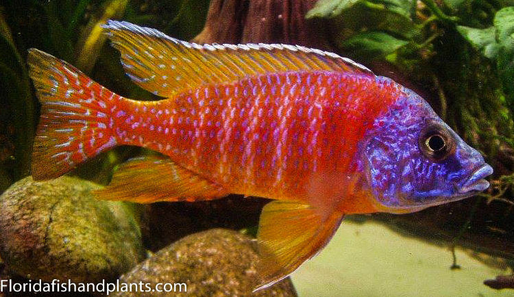"""MALE Reuben Peacock """"Ruby"""" 1.5 inch Aulonocara African ..."""