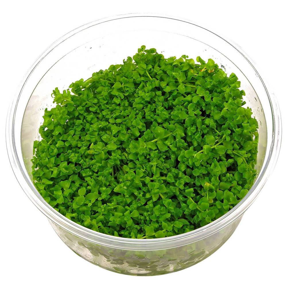 ... Monte Carlo Tissue Culture Rare Live Aquarium Plants Baby Tears eBay