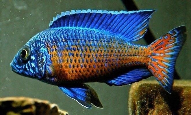 Four Fish Colony Ngara Flametail Peacock 1 25 Inch
