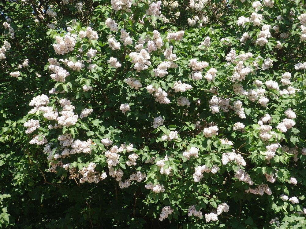 1 Old Fashion White Lilac Shrub Live Rooted Hardy