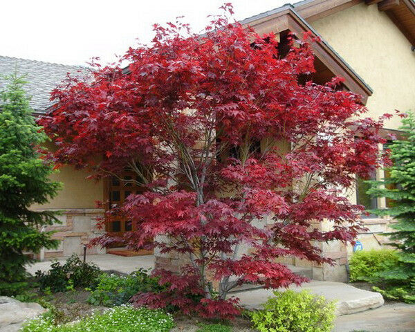 Japanese Red Maple Tree 1 Foot Tall In Trade Gallon Pots