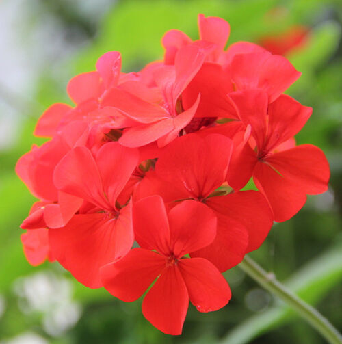 Storkbill seed 6 seeds pelargonium graveolens geraniums for Pelargonium graveolens