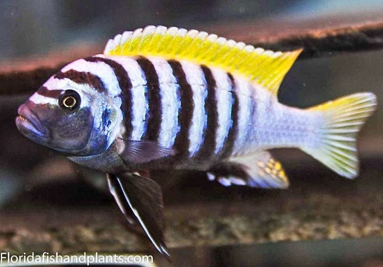 1 cynotilapia afra jalo reef 1 5 inch african cichlid for Ebay live fish