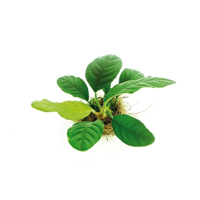 ... Coffeefolia Large Size Easy Live Aquarium Plants BUY2GET1FREE* eBay