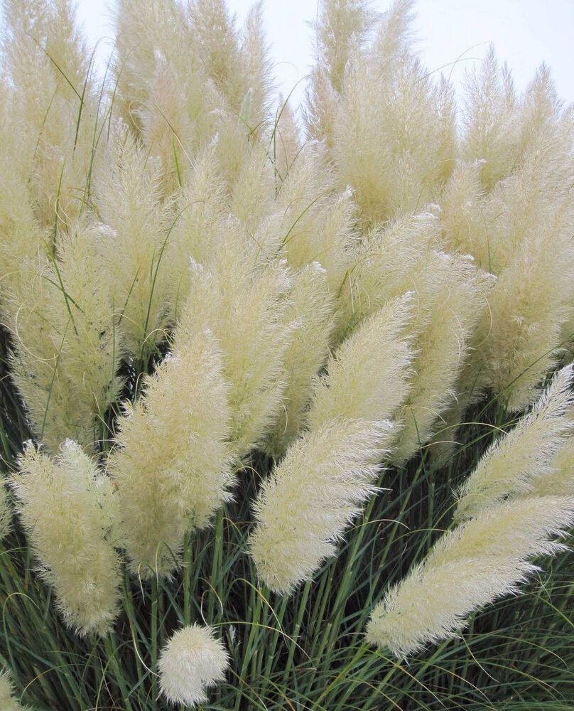 500 pcs rare white pampas grass seeds ornamental plant for Ornamental grass with yellow flowers