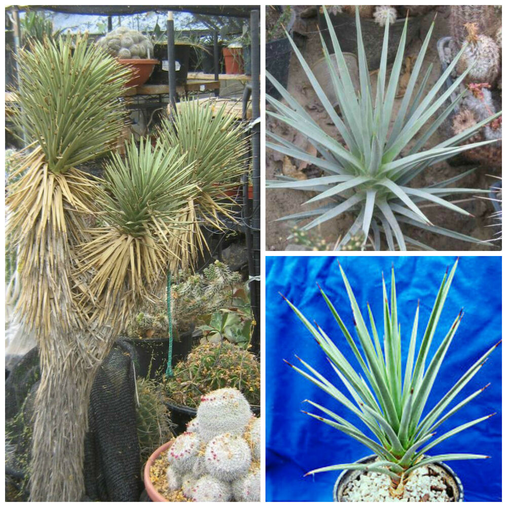 50 samen der yucca brevifolia jaegeriana saftig sukkulenten seed succulents g ebay. Black Bedroom Furniture Sets. Home Design Ideas