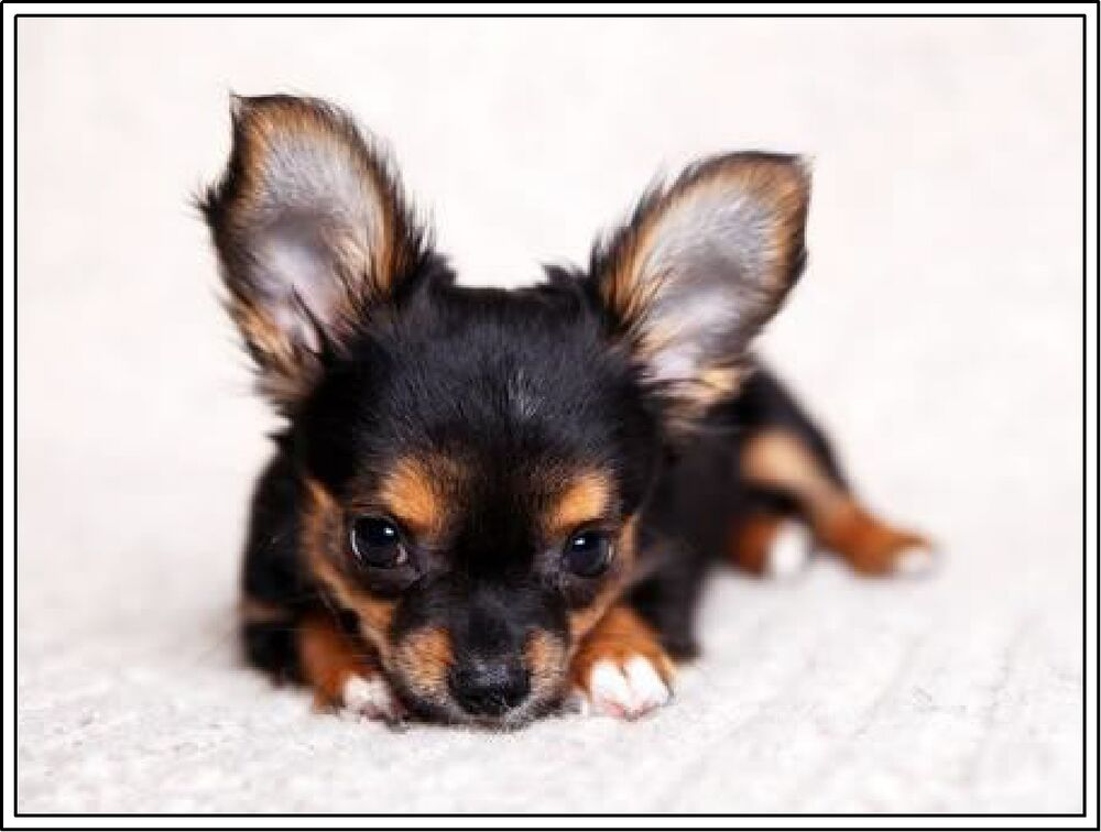 4Set Dog Dogs Puppies Puppy Chihuahua Stationery Greeting ...