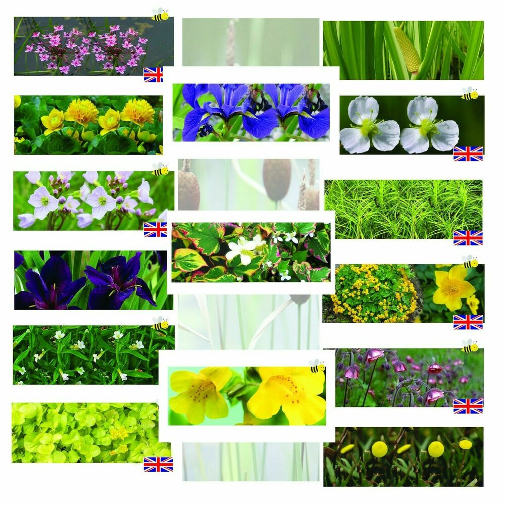 Pond plants 42 types marginal plants water plant sale for Where to get aquatic plants