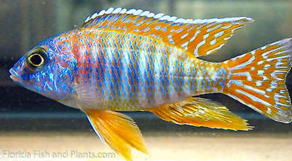 Four Fish Colony Red Sun Peacock 1 25 Inch Aulonocara