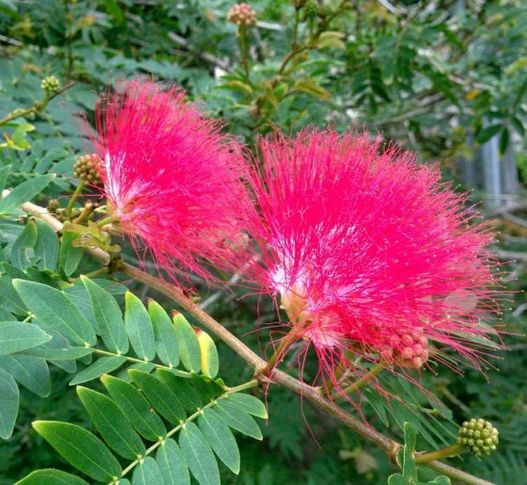 albizia julibrissin var rosea pink silk tree 20 seeds. Black Bedroom Furniture Sets. Home Design Ideas