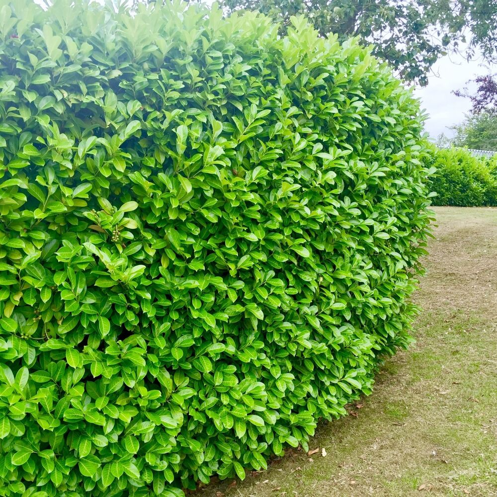 25 Cherry Laurel Hedging Potted Not Bare Root 40 60cm