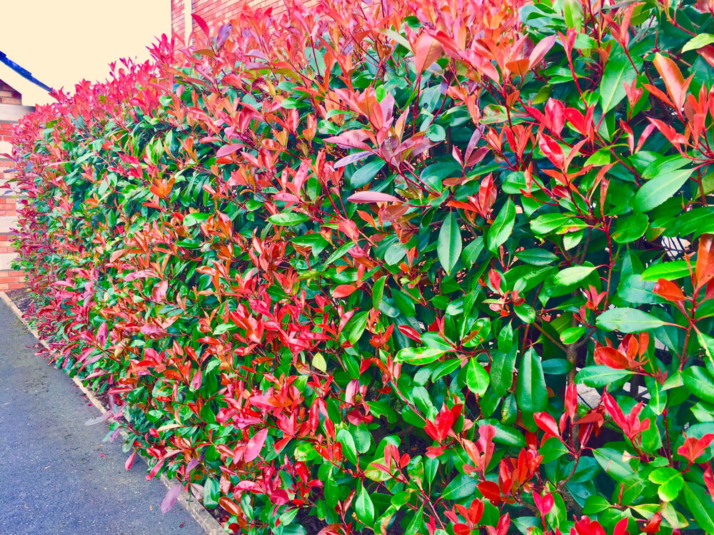 Hedge Bushes: 10 Photinia Red Robin Hedging Plants 20-30cm Healthy