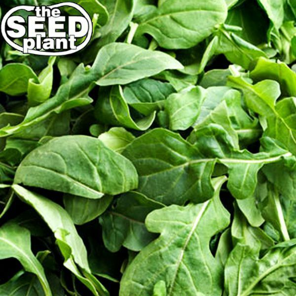 Arugula Seeds - 1000 SEEDS-SAME DAY SHIPPING