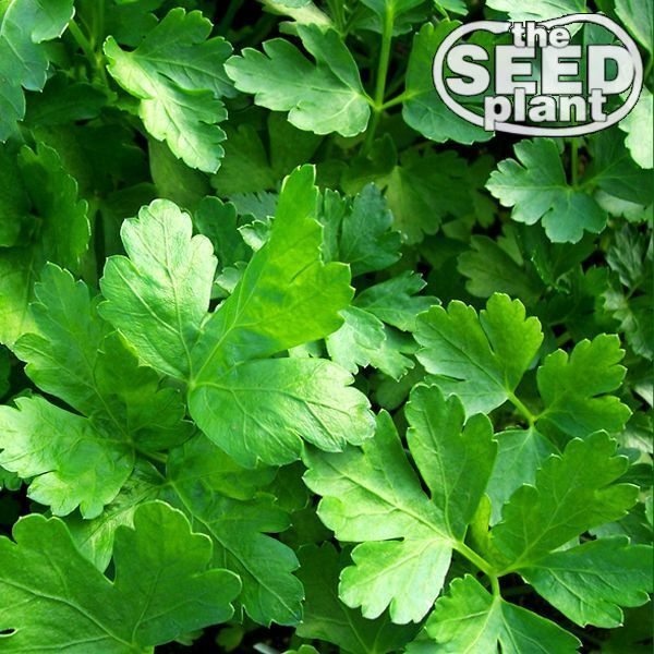 Plain Italian Parsley Seeds - 600 SEEDS-SAME DAY SHIPPING