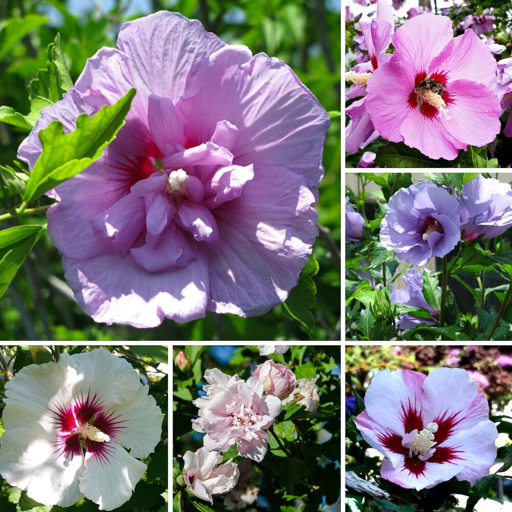 bl hende hecke 25 samen roseneibisch hibiscus syriacus hibiskus seeds ebay. Black Bedroom Furniture Sets. Home Design Ideas
