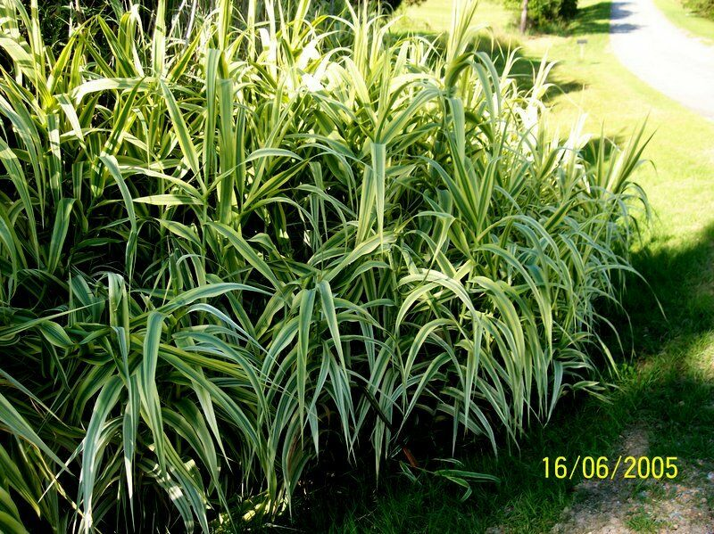 Ornamental grass arondo donux grass peppermint stick giant for Giant ornamental grass