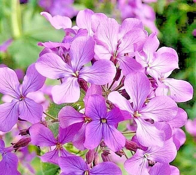 """500+EVENING SCENTED STOCK Seeds """"Perfume Plant"""" Fragrant"""