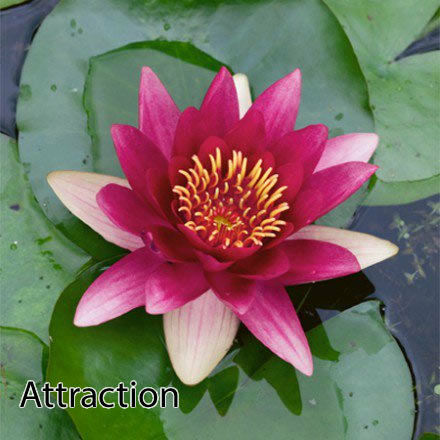 Attraction Water Lily Pond Plants Water Lilies Aquatic Plants Ebay