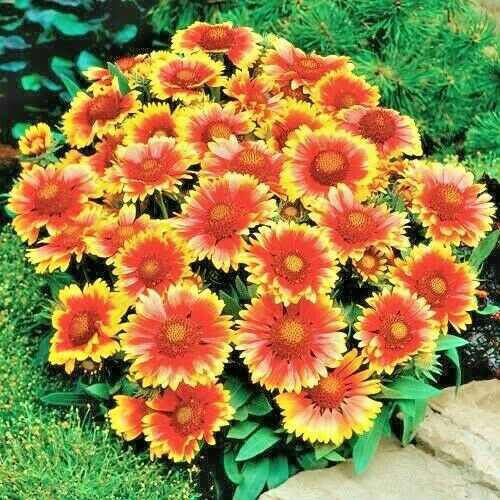 1000blanket Flower Seeds American Native Wildflower Perennial Bees