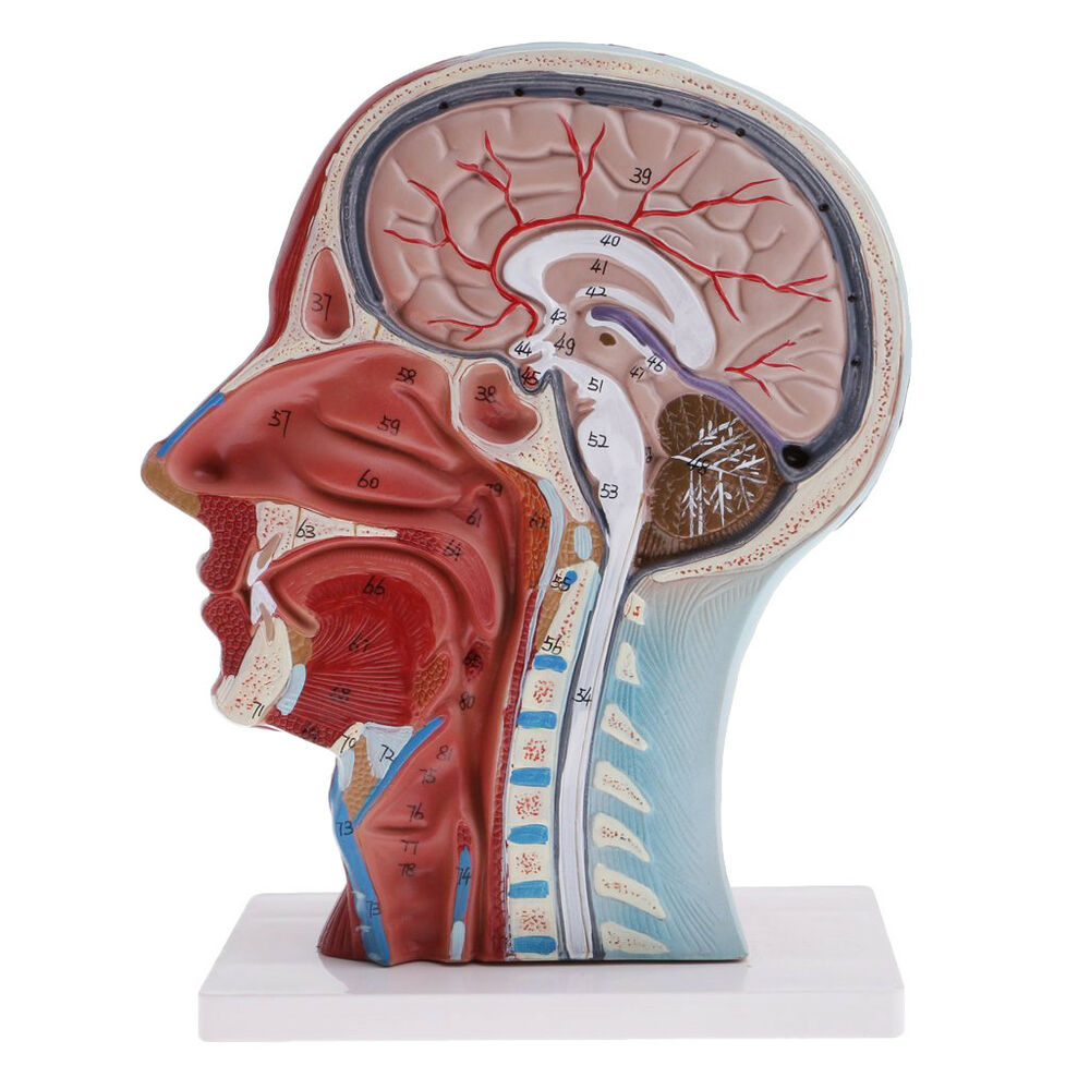 Half of Head Section Model with Vessels Anatomy Models Brain Models ...