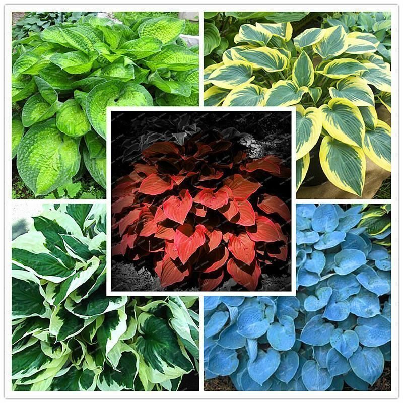 200pcsbag Hosta Plants Whirl Wind In Full Shade Mixed Color Flower
