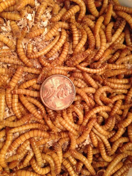 300 CT Of Premium Live Mealworms Plus 10% Free 1st Class Usps Shipping