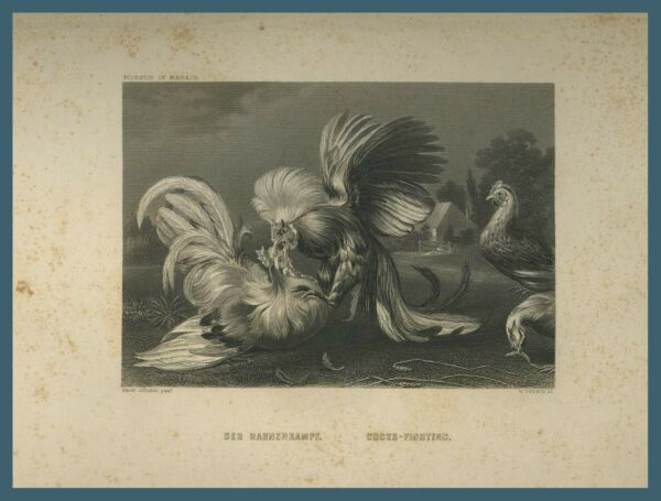 Cocks fighting Combattimento galli 1850 Dresdner Galerie incisione acciao
