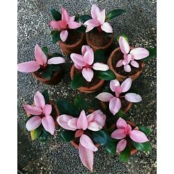 5 Plant Philodendron Pink Congo Free Phytosanitary Certificate DHL Express