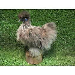 Kyпить Charcoal Grey Silkie Chicken Real Bird Taxidermy Mount Chicken Poultry на еВаy.соm