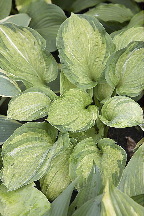 New hosta pistache unusual colour variegation good garden for New garden plants