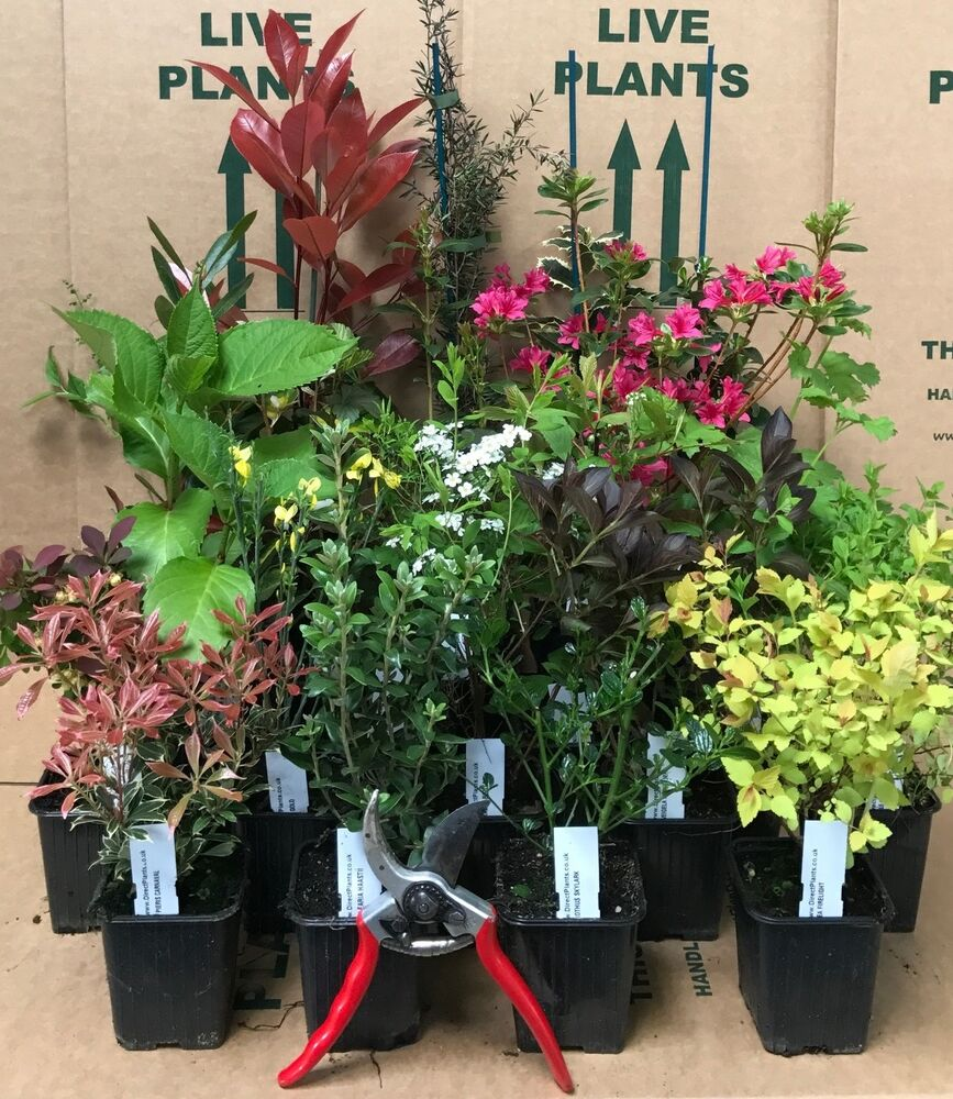 10x mixed established garden shrubs high quality potted for Landscaping plants and shrubs