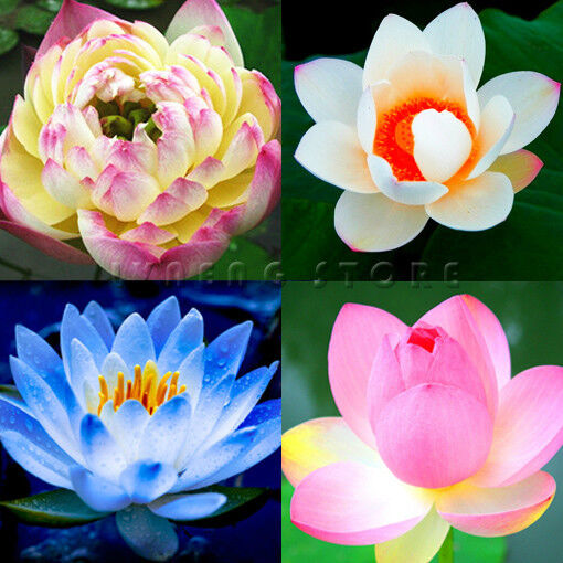 Lotus Seeds ★ Flowers Seeds Blooming Fragrance Sell Well