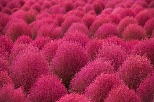 Rare Summer Cypress Burning Grass Kochia Scoparia 20 35