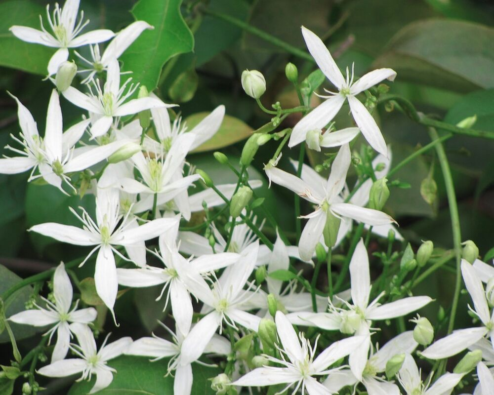 clematis virginiana 30 samen seeds intensiver duft. Black Bedroom Furniture Sets. Home Design Ideas