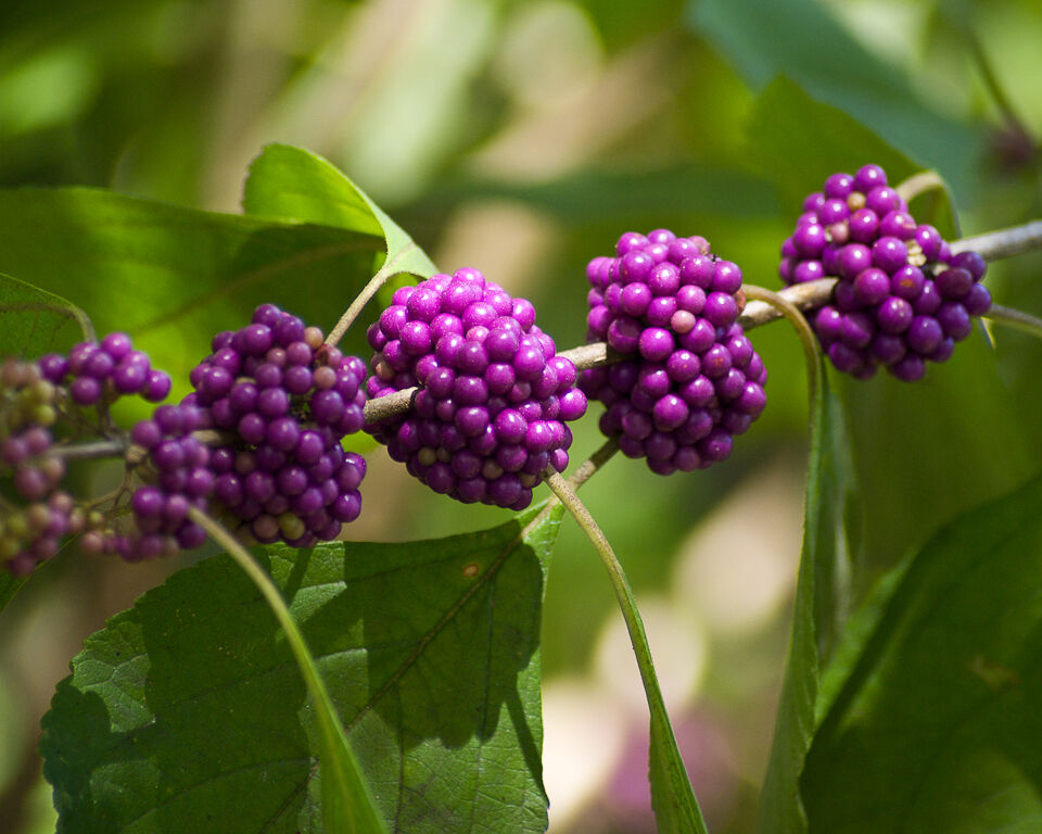 liebesperlenstrauch 10 samen seeds callicarpa americana. Black Bedroom Furniture Sets. Home Design Ideas
