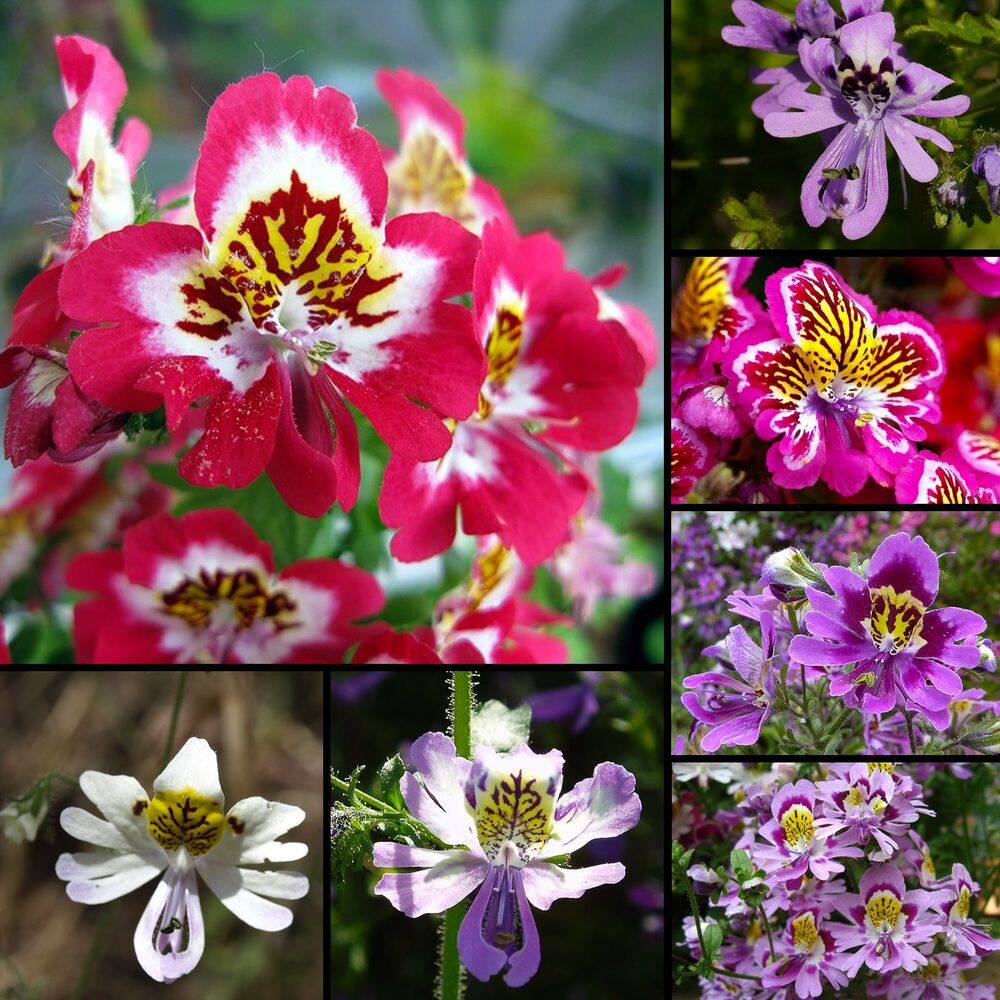 bauern orchidee 250 bis 1000 samen seeds schizanthus mix butterfly orchid ebay. Black Bedroom Furniture Sets. Home Design Ideas
