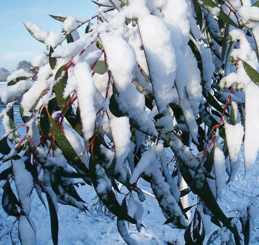 winterharter schnee eukalyptus 40 samen seeds eucalyptus pauciflora niphophila ebay. Black Bedroom Furniture Sets. Home Design Ideas