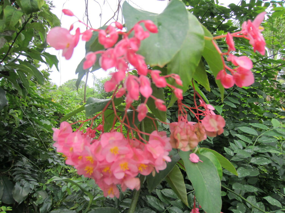 s-l1000 Tropical House Plant With Pink Flower on tropical house plant with red berries, name of small pink flowers, tropical plant large leaves, tree with hot pink flowers, tropical yellow flower plant, tropical tree with pink flowers, like house with cactus plants pink flowers, flowering trees pink flowers,