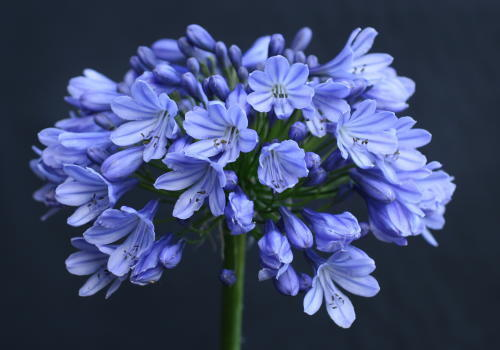 Dark Blue And White Flowers: 3 Agapanthus Isis Dark Blue Flowers Excellent Garden Plant