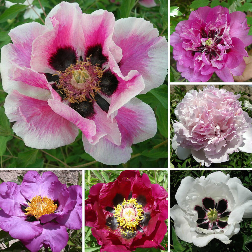baum strauch pfingstrose paeonia rockii 20 samen seeds p onie tree peony ebay. Black Bedroom Furniture Sets. Home Design Ideas