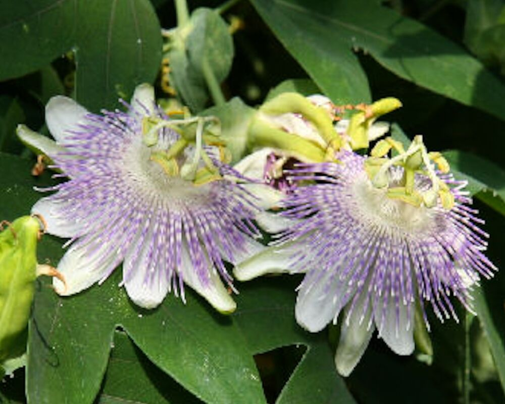 passiflora gibertii 10 samen seeds passionsblume essbare fr chte passion flower ebay. Black Bedroom Furniture Sets. Home Design Ideas