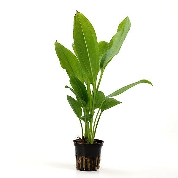 Large Amazon Sword Potted - Easy Background Live Aquarium Plants ...