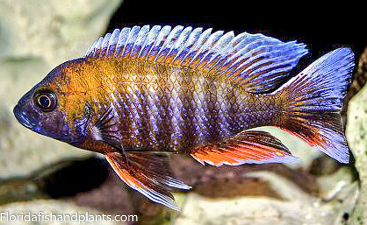 1 jacobfreibergi otter point peacock 1 5 inch for African cichlid fish