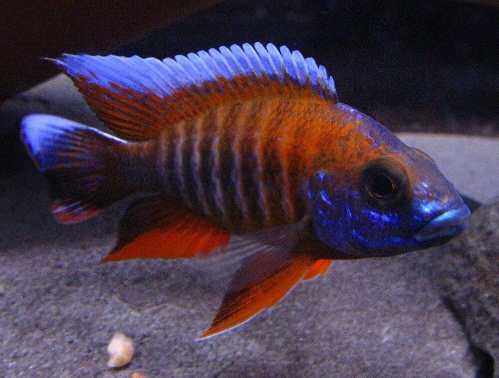 Eureka Red Peacock 1 25 Inch Aulonocara African Cichlid