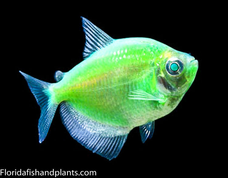 Glofish electric green tetra 1 inch live fish fully for Where do fish live