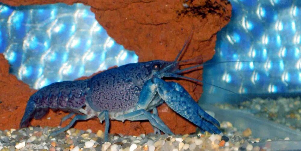 1 electric blue crayfish lobster 1 5 inch live fish for Ebay live fish