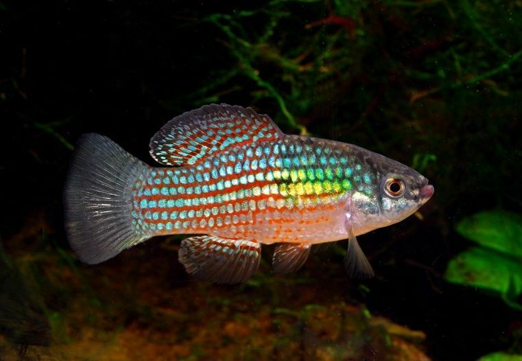 6 florida flagfish approximately in live fish fully for Black and white striped fish freshwater