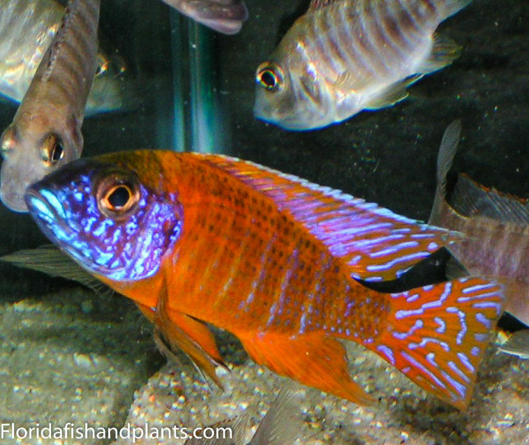 1 german red peacock aulonocara african cichlid 1 5 inch for African cichlid fish