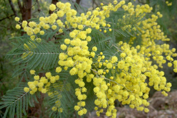 Acacia dealbata evergreen shrub in 7cm pot Silver Wattle or Mimosa